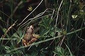 Young European frog in the grass Haute-Garonne France ; Locality: Bagnères-de-Luchon