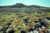 Sea purslanes colonize a volcanic ground Galapagos
