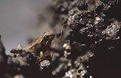 Young European frog in mud Haute-Garonne France ; Locality: Bagnères-de-Luchon