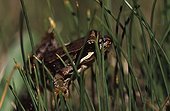 Young European frog in the grass Pyrenees France ; Locality: Bagnères-de-Luchon