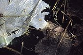 Lowland Frog among scrap polluting its pond ; Locality: Vedène.