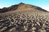 Tiquilias colonisant un champ de cendres Galapagos ; Site : Ile Bartolomé. Plante endémique parmi les premières colonisatrices. Elle se fixe sur les champs de cendres en respectant une implantation régulièrement espacée afin d'éviter la concurrence.