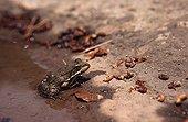 Lowland Frog at water's edge Var France ; Locality: Roquebrune-sur-Argens.