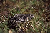 Lowland Frog in the grass Var France ; Locality: Roquebrune-sur-Argens.