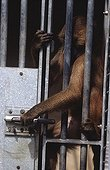 Anubis baboon attempting to open the lock of its cage