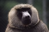 Portrait of a male Anubis baboon in a reproduction center