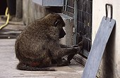 Anubis baboon grooming a captive congener France