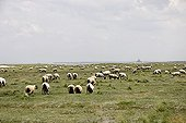 Sheep's Cotentin in the bay of Mont-Saint-Michel ; Roussin of the Hague: Intersection between 2 races England (Dishley-Southdown). Race sheep suited to the climate of Mont Saint Michel and the Cotentin. [AT]