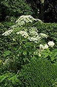 Angelica in bloom in a garden