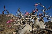 Desert Rose Dhofar Sultanate of Oman