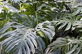Foliage of Philodendron Costa Rica