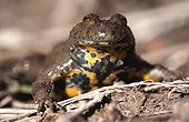 Portrait of a Yellow-bellied Toad Hautes-Alpes France ; Plateau Bayard in Ancelle.