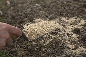 Curled Parsley sowing on a layer of sand