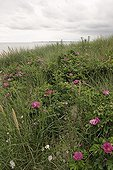 Rugosa Rose in the mid of Oyats Britain France