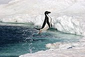 Adelie penguin leaving water Terre Adelie ; The Adelie penguin jumps out of the water and landed on its feet.