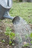 Spray Wild celery after seeding Provence France