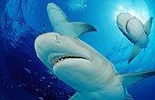 Lemon sharks Grand Bahama Island