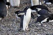 Parade nuptiale d'un Manchot d'Adélie Péninsule Antarctique ; Localité : Brown Bluff.