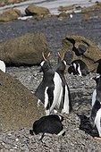 Manchots papous en parade nuptiale Péninsule Antarctique ; Localité : Brown Bluff.