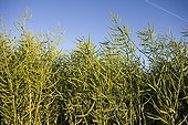 Field of Rapeseed in fruit France