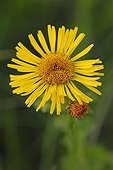 Flower of Inula salicina on shalky hill