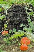 Potiron 'Rouge Vif d'Etampe' dans un jardin potager