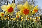 Land of Narcissus in march France