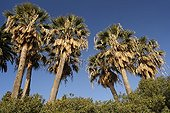 California Fan Palms and Canary Island Date Palm France ; City: Menton