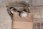 Young House martins in a cardboard nest Doubs FRance