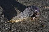 Gasteropode aquatic Kenya