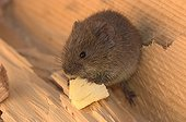 Common vole gnawing a piece of wood