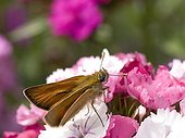 Small skipper on a Sweet William flower Doubs France