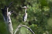 Tricoloured Heron perched on a branch Nicaragua ; Site: Pacific coast