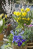 Terrace with  Daffodils Violets and Eyelets pots France