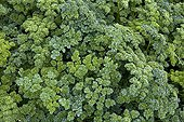 Parsley curly  Provence France