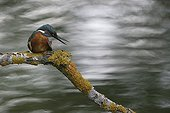 Male Kingfisher cleaning Switzerland