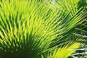 European Fan Palm leaves Martinique