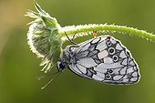 Marbled White covered with morning dew Normandy France