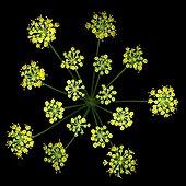 officinal fennel