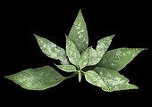 Girasole oidium