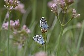 Silver-studded Blues couple landed on inflorescence ; Site: nature reserve of Val d'Escreins in the massif of Font Sancte