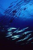 School fish of Barracudas in the Red Sea Sanganeb Sudan