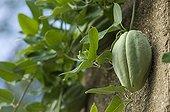 Cruel Plant fruit on plant Spain