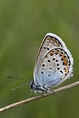 Silver-studded Blue landed on twig Alps