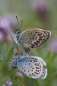 Mating of silver-studded Blues landed on leaf Alps ; Site: Nature Reserve of Val d'Escreins in the Massif Font Sancte
