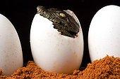 Nil Crocodile hatching in Pierrelatte farm France