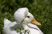 Portrait de canard blanc à crête collection de Fownhope GB ; Ce canard fait partie d'une collection spécialisée située à Fownhope, à côté de Ross.<br>La crête est plus importante chez le mâle. Elle est dûe à une déformation du squelette et est constituée d'un amas de tissus graisseux développé à l'arrière du crâne.