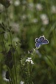 Silver-studded Blue on a inflorescence of poaceae Alps ; Site: Nature reserve of Val d'Escreins in the Massif Font Sancte