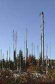 Coniferous forest after a bark beetle attack