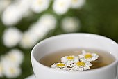 Feverfew herb tea in a cup and flowers France